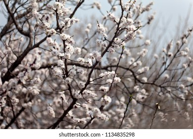 Depth of field close-up of Chinese cherry blossoms in full bloom in early spring near Beijing, China
