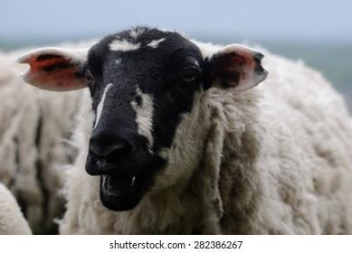 Derbyshire Gritstone Ewe