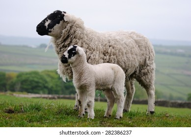Derbyshire Gritstone Ewe and Lamb