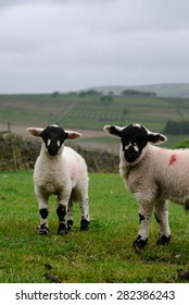 Derbyshire Gritstone Lambs