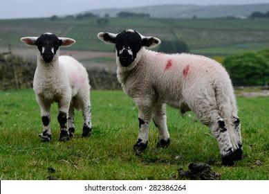 Derbyshire Gritstone Lambs