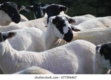 Derbyshire Gritstone sheep