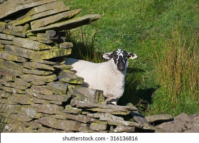 Derbyshire Gritstone sheep hiding behind a drystone wall