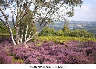 Derbyshire Landscape Purple Heather