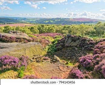 In the Derbyshire Peak District  on a summer day. Bell heather grows around the gritstone outcrops.
