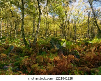 In a Derbyshire  woodland on a bright autumnal day moss covered gritstone rocks lay in the undergrowth amidst Silver Birch trees