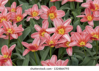 "Derived from the Greek word ""leiron,"" , the lily was so revered by the Greeks that they believed it sprouted from the milk of Hera, the queen of the gods"