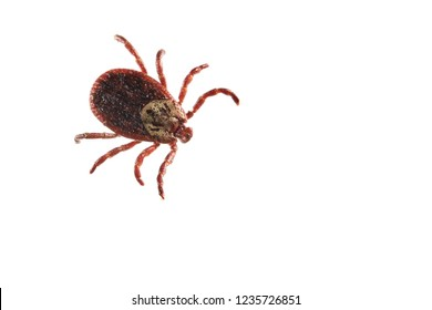 Dermacentor reticulatus, also known as the ornate cow tick, ornate dog tick, meadow tick and marsh tick isolated on white background, close-up