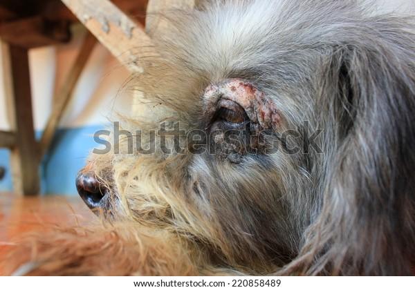 Dermatitis for animal - Dog