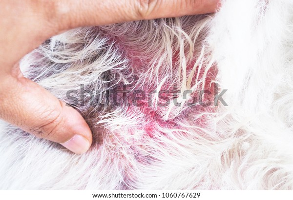 Dermatitis is a rash disease found in dogs.
