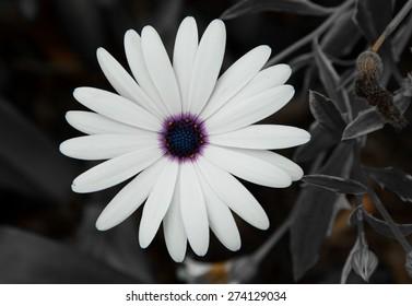 Desaturated Daisy
