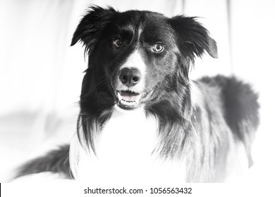 A desaturated, deliberately high key photograph of a border collie
