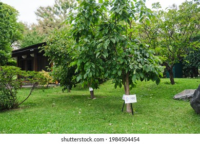 Descendants of hibakujyumoku, trees that survived the Hiroshima atomic bombing, that are growing in the Japanese garden of Buenos Aires, Argentina.