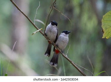 DescriptionThe red-whiskered bulbul, or crested bulbul, is a passerine bird found in Asia. It is a member of the bulbul family. It is a resident frugivore found mainly in tropical Asia.