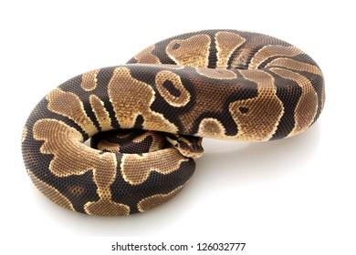 desert ball python (Python regius) isolated on white background.