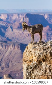 Desert Big Horn Ram Standing On The Edge Of Grand Canyon