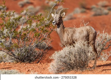 Desert Big Horn Sheep in Nevada Mojave Desert