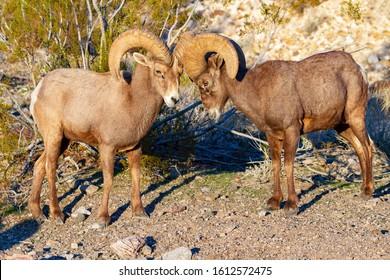 Desert Big Horn Sheep RamsMojave Desert Nevada