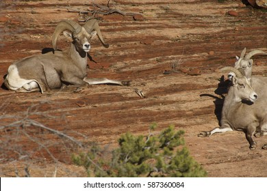 Desert Bighorn Sheep Adult Male Ram and Young near Zion National Park, Utah U.S.A.