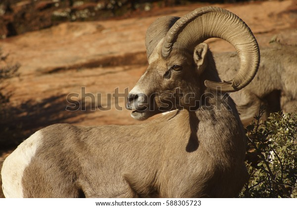 Desert Bighorn Sheep Adult Male Ram near Zion National Park, Utah