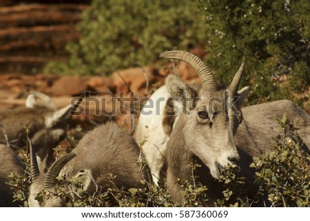 Desert Bighorn Sheep Young Lamb Eating near Zion National Park, Utah U.S.A.