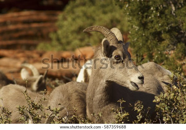 Desert Bighorn Sheep Young Lamb Curiously surprised near Zion National Park, Utah U.S.A.