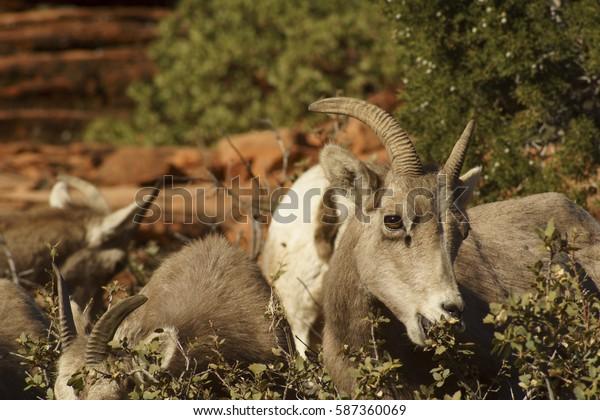 Desert Bighorn Sheep Young Lamb Eating near Zion National Park, Utah U.S.A.