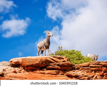 Desert Bighorn Sheep in Zion National Park Utah