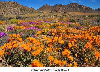 Desert bloom in South Africa.