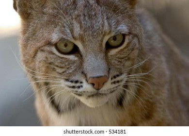 Desert Bobcat, close-up, intense eyes