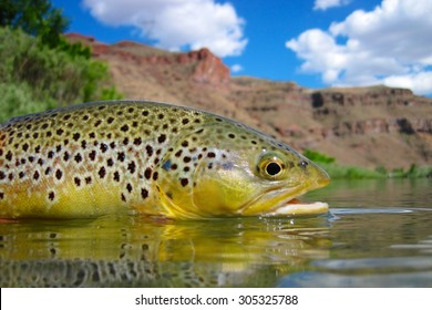 Desert brown trout
