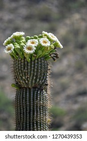 Desert Cactus blooming in the springtime. Saguaros are very majestic when they are blooming. This photo was taken in Tucson, Arizona.