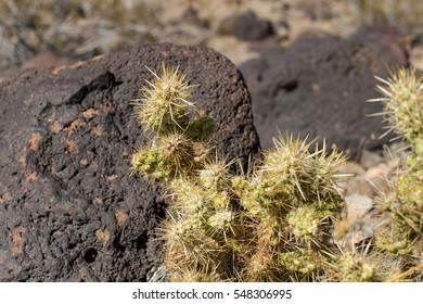 desert cactus with volcanic boulder and desert in the background