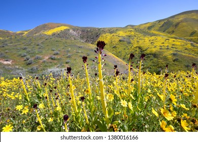 Desert candle blooming in Temblor Range, Carrizo Plain National Monument, CA