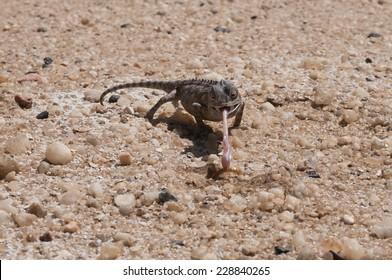 Desert Chameleon, Namib Desert near Swakopmund, Namibia, Africa