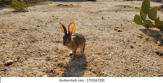 Desert cotton tail rabbit in the Sonoran Desert with prickly pear cactus and sand. Cute wild bunny, native wildlife in the Southwest. Pima county, Tucson, Arizona, USA.