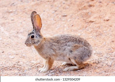 Desert cottontail rabbit on the sandstone ground of Canyonlands National park, Utah, USA