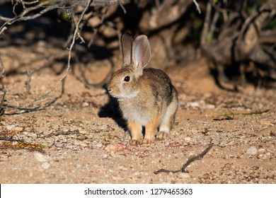 Desert Cottontail Rabbit, Sylvilagus audubonii in the Sonoran Desert. Wild bunny, close up of a cute furry mammal under a bush looking towards the camera. Pima County, Tucson, Arizona. Summer of 2018.