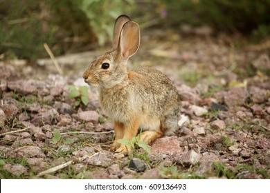Desert Cottontail Rabbit (Sylvilagus audubonii) also known as Audubon's Cottontail in New Mexico