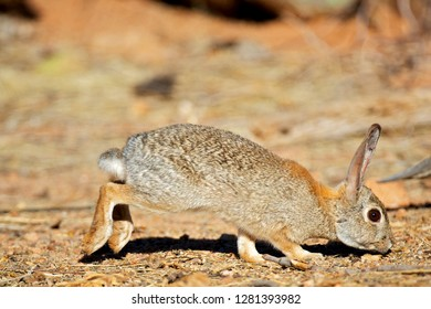 A desert cottontail (Sylvilagus audubonii), also known as Audubon's cottontail, forages for food in the Sonoran desert.