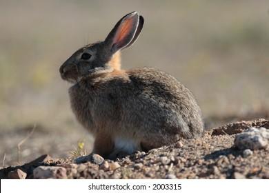 Cottontail Rabbit Stock Vectors, Images & Vector Art | Shutterstock
