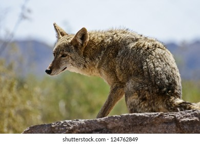 Desert Coyote Searching for Prey