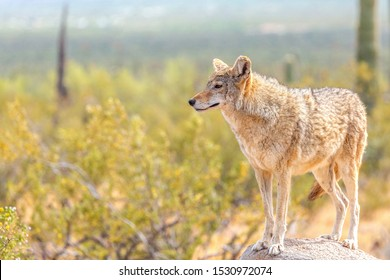 Desert Coyote Surveying Its Territory Standing on a Rock in the Wild Sonoran Desert. Coyote Surrounded by Yellow Bristle Bush Flowers Under the Bright Sun