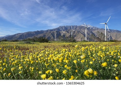 Desert dandelion blooming in San Gorgonio Pass wind farm in  Palm Springs, CA