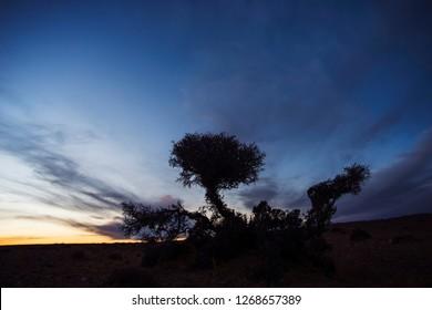 Desert Date silhouette against the setting sun in desert