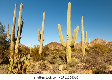 Desert discovery trail at Saguaro National Park in Arizona, USA.  These cacti live up to 200 years and weigh up to 7 tons.  Beautiful protected desert landscape.