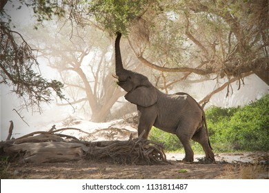 Desert Elephant in the dry Huab River, Namibia