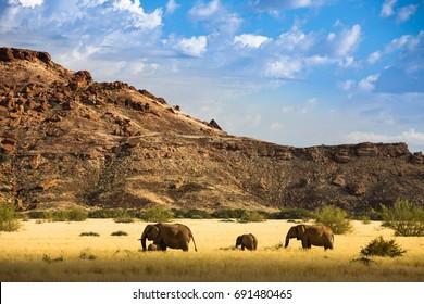 Desert Elephants, Khorixas - Damarland - Namibia