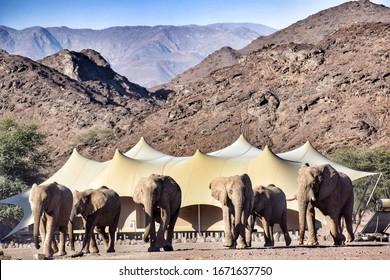 Desert elephants walking through camp