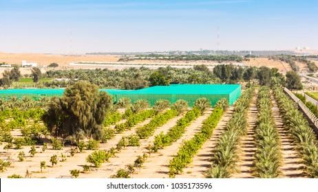 A desert farm situated among dunes near Al Ain, in the emirate of Abu Dhabi, United Arab Emirates.